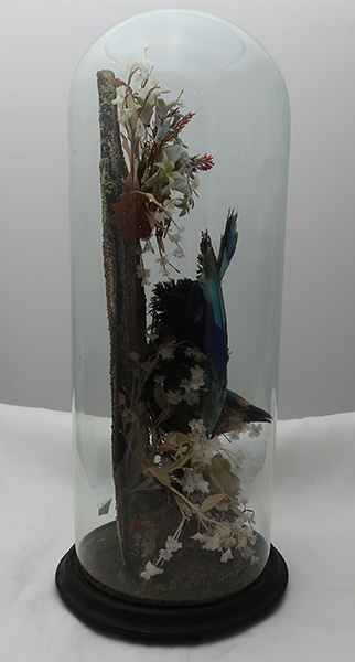 Taxidermy Blue Bird in Glass Dome Circa 1880